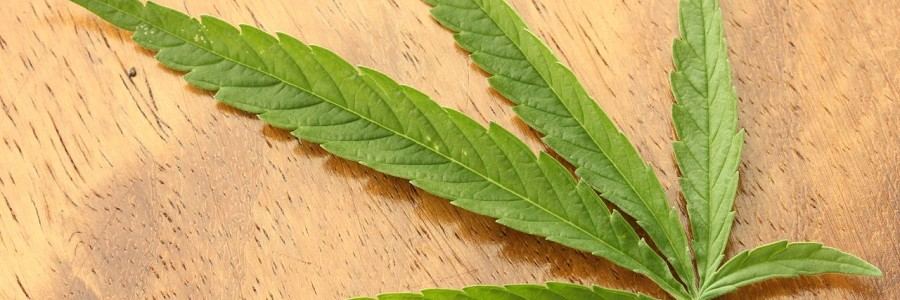 1280px-Cannabis_sativa_leaf_Dorsal_aspect_2012_01_23_0830[1]